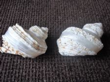 2 X COLLECTABLE PEARL BANDED TURBO SHELLS GREAT CONDITION AND LOVELY COLOURS 5""